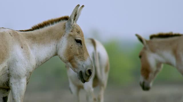 wild ass watching - アジア野ロバ点の映像素材/bロール