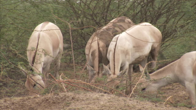 wild asses graze on long dry grasses. available in hd. - grazing stock videos & royalty-free footage