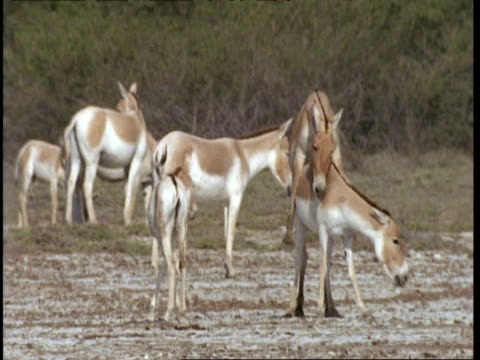 vidéos et rushes de ms wild asses mating, pan right as male walks away, gujarat, india - accouplement cheval
