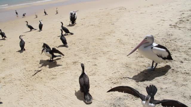 Wild Australian pelicans in the beach, Moreton Island, Australia