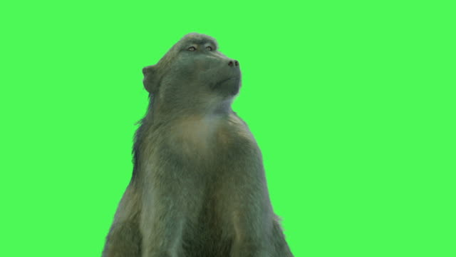 wild baboon animal on green screen - monkey stock videos and b-roll footage