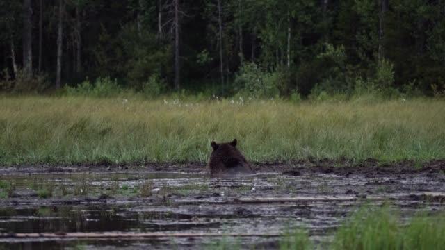 wildbär schwimmen im see im wald - finnland stock-videos und b-roll-filmmaterial