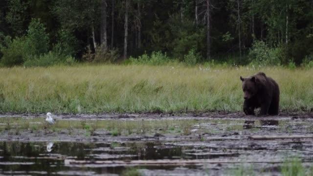 wildbär spazieren im wald - finnland stock-videos und b-roll-filmmaterial