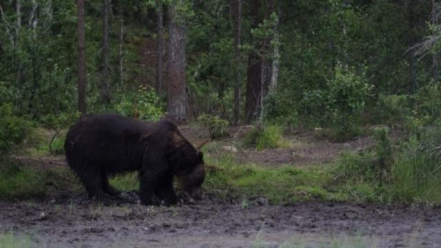 wildbär spazieren im wald - grizzlybär stock-videos und b-roll-filmmaterial