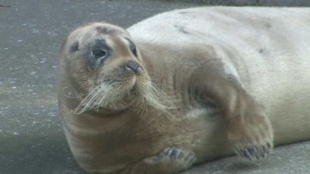 wild bearded seal appears in city, kanagawa, japan - bearded seal stock videos & royalty-free footage