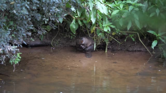 wild beaver reintroduction scheme. river otter, devon. swimming, eating, grooming. adult male and female, kit and juvenile. - animals in the wild stock videos & royalty-free footage