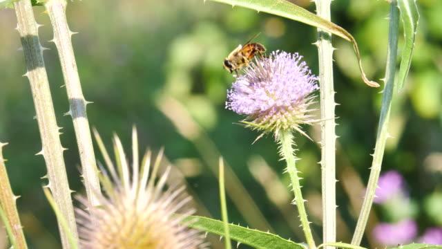 アザミの花に野生の蜂が花の花粉のクリーンアップします。 - protection点の映像素材/bロール