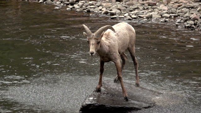 vídeos y material grabado en eventos de stock de wild bighorn ovejas sacude en south platte river waterton canyon colorado cámara lenta video hd - américa del norte