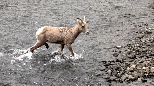 wild bighorn sheep walks in south platte river waterton canyon colorado slow motion hd video - bighorn sheep stock videos & royalty-free footage