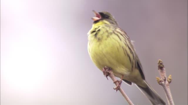 wild bird in hokkaido - 枝点の映像素材/bロール
