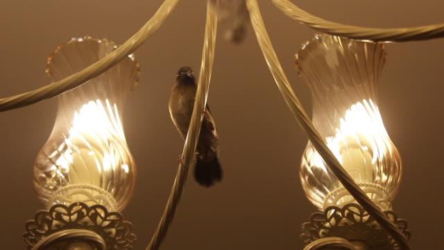 wild bird in the room - nightingale bird stock videos & royalty-free footage