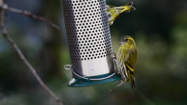 wild birds, siskin-carduelis spinus eating nyjer seed - david johnson stock videos & royalty-free footage