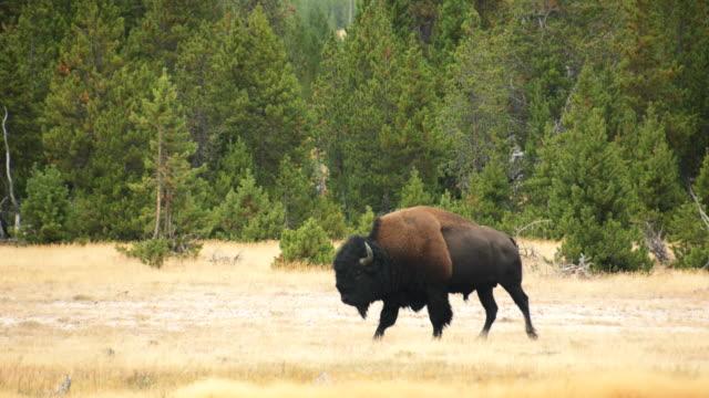 vídeos de stock, filmes e b-roll de wild bison in yellowstone national park - parque nacional de yellowstone