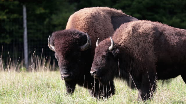 wild bisons stands in a steppe and chews dry grass - american bison stock videos & royalty-free footage