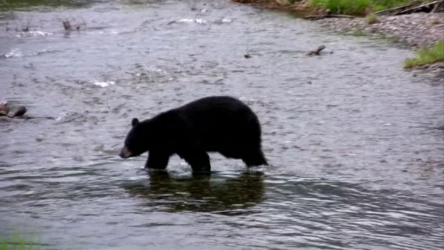 wild black bear high definition hd & saved at highest quality. - 2009 stock videos and b-roll footage