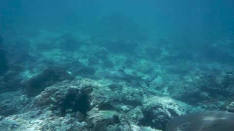 wilder schwarzspitzen-riffhai (carcharhinus melanopterus) - one animal stock-videos und b-roll-filmmaterial