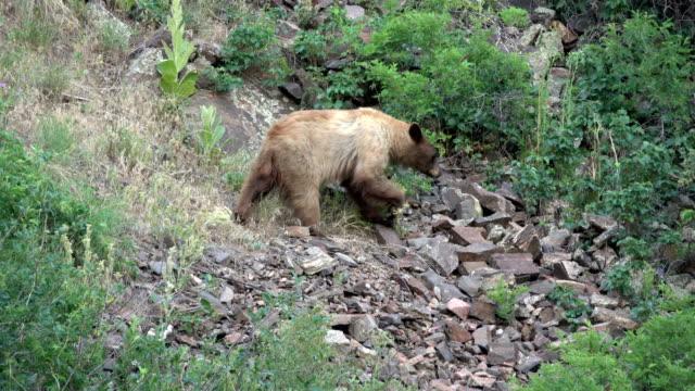 wild blond black bear walks rocky mountain hillside waterton canyon littleton colorado - black canyon stock videos & royalty-free footage