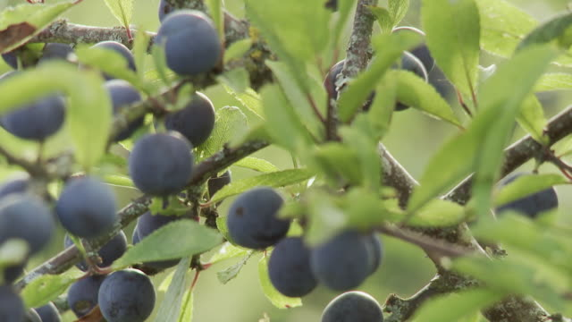CU PAN Wild blueberries on bush / Nevers, Burgundy, France