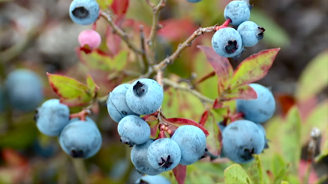 wild blueberries - blueberry stock videos and b-roll footage
