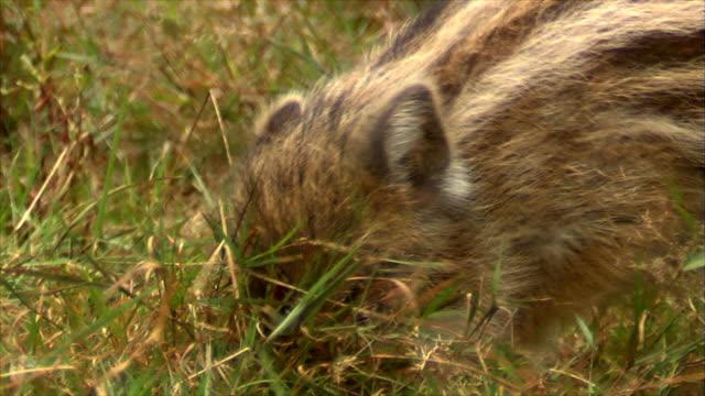 野生のイノシシのカブスと大人 - 動物の子供点の映像素材/bロール