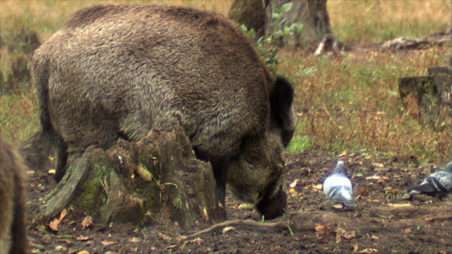 wild boar eating and skull - boar stock videos & royalty-free footage
