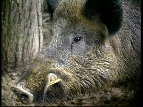 ENVIRONMENT Wild Boar ENGLAND EXT MS Wild boar along through woods PAN TCMS Boars CMSs Boar's face Bill Rushell interviewed SOT If he'd got me down...