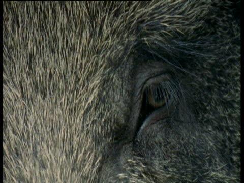 wild boar eye blinks, europe - blinking stock videos & royalty-free footage