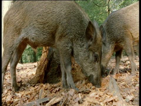 stockvideo's en b-roll-footage met wild boar forage near tree stump, europe - boomstronk