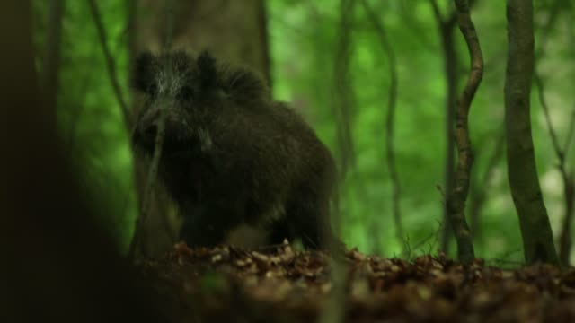 wild boar (sus scrofa) forages for food on forest floor - baden wurttemberg stock videos and b-roll footage