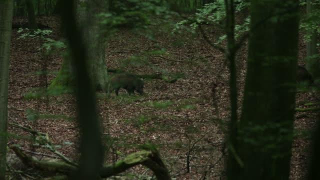 Javalis (Sus scrofa) de forragem para o alimento no chão da floresta