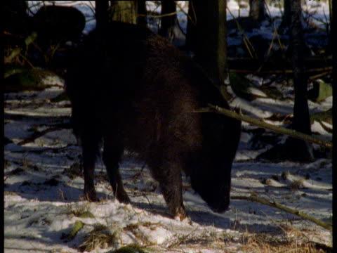 Wild boar forages through snowy forest, Sweden