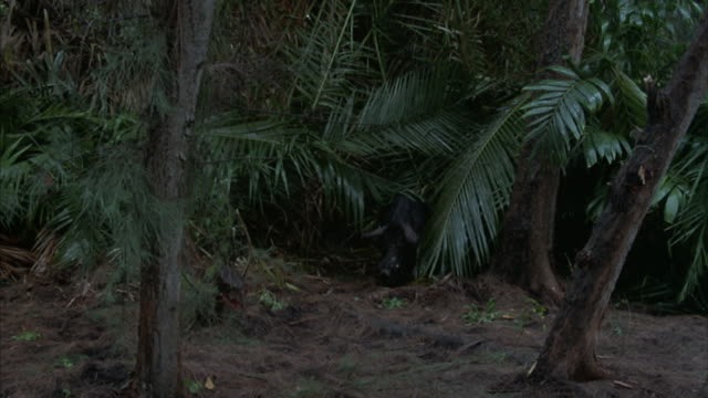 a wild boar hides on the edge of a tropical forest. - hiding stock videos & royalty-free footage