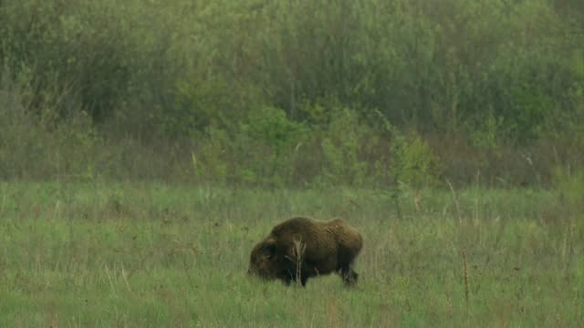 wild boar (sus scrofa) in chernobyl - boar stock videos & royalty-free footage