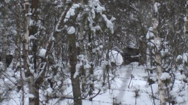 vídeos y material grabado en eventos de stock de jabalíes en invierno y alambre de púas - animales salvajes