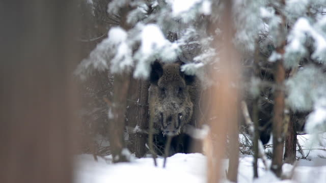 wild boar in winter forest - boar stock videos & royalty-free footage