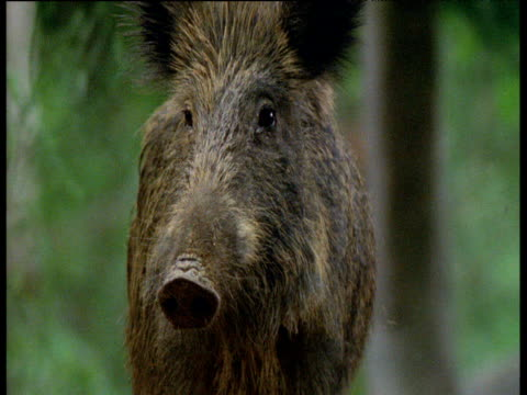 Wild Boar looks around chewing then walks out of shot, Europe