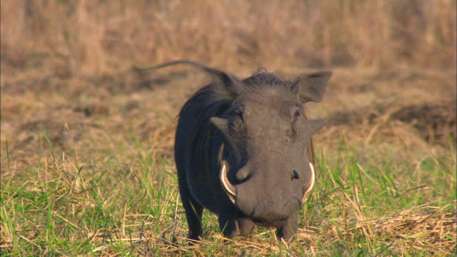 vídeos de stock e filmes b-roll de wild boar resting - moçambique