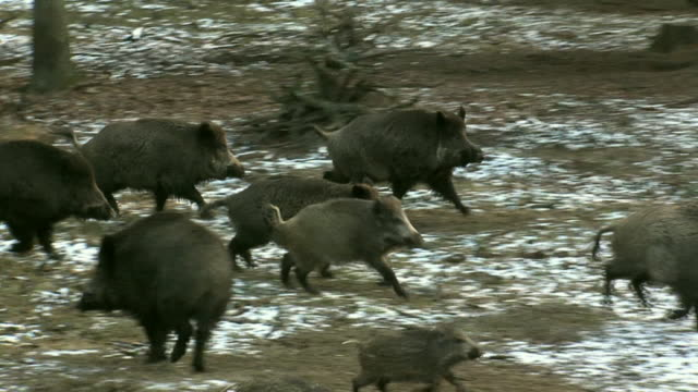 wild boar running in panic - boar stock videos & royalty-free footage
