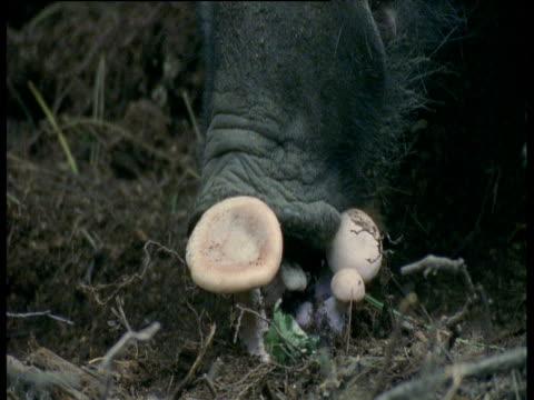 stockvideo's en b-roll-footage met wild boar sniffs at mushrooms then walks away, europe - neus van een dier