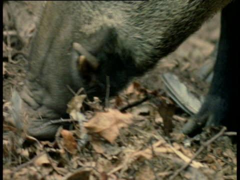wild boar snout as it forages amongst leaf litter, europe - tierische nase stock-videos und b-roll-filmmaterial