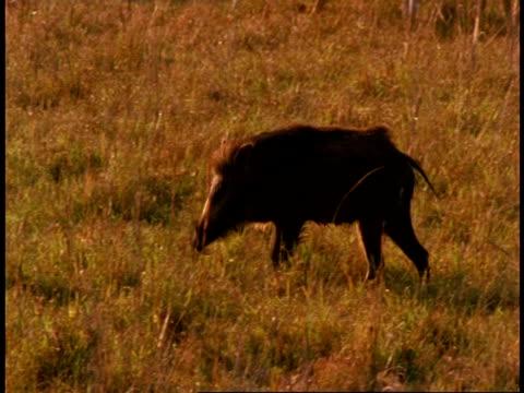 ms wild boar, sus scrofa, grazing, bandhavgarh national park, india - national icon stock videos & royalty-free footage