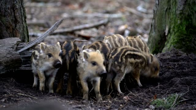 wild boar, sus scrofa, group of young piglets - jungtier stock-videos und b-roll-filmmaterial
