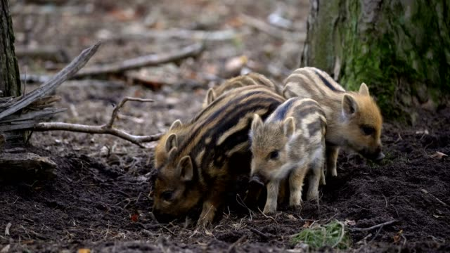 wild boar, sus scrofa, group of young piglets - young animal点の映像素材/bロール