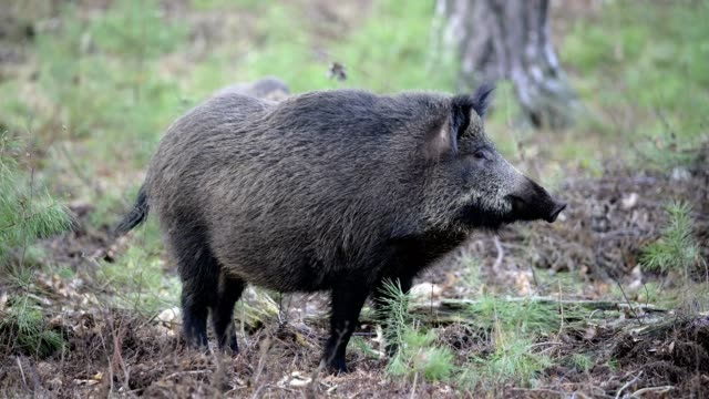wild boar, sus scrofa, in forest - boar stock videos & royalty-free footage