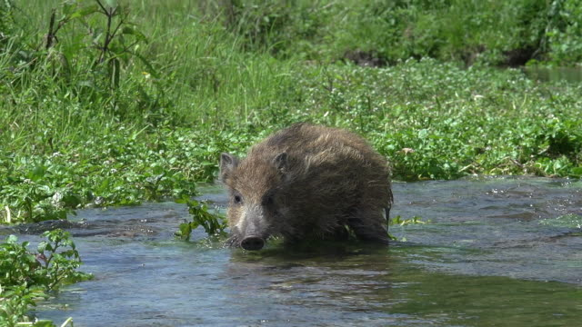 Wild Boar, sus scrofa, Piglet crossing River, Normandy, Real Time