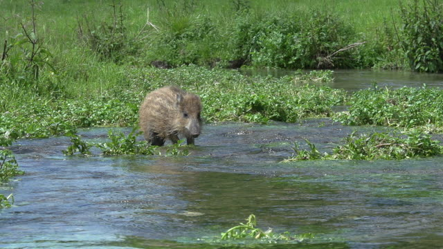 Wild Boar, sus scrofa, Piglet standing in Water, Normandy, Real Time