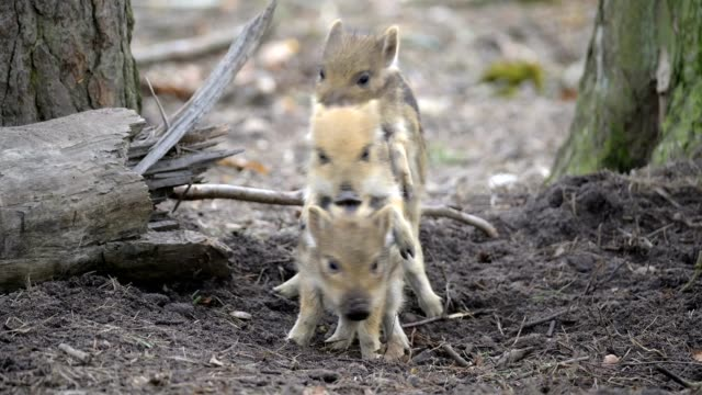 vídeos de stock, filmes e b-roll de wild boar, sus scrofa, three young piglets - grupo pequeno de animais