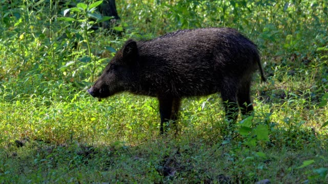 wild boar, sus scrofa, young in forest - boar stock videos & royalty-free footage