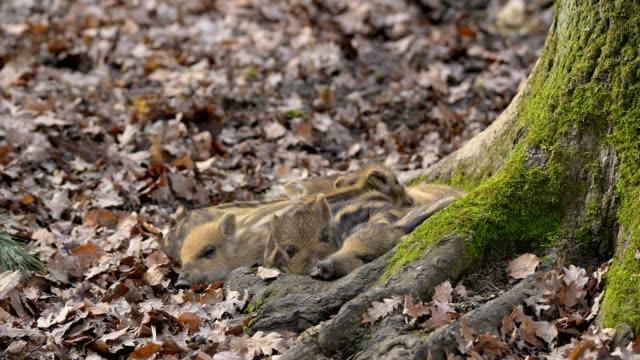 vídeos y material grabado en eventos de stock de wild boar, sus scrofa, young piglets - nariz de animal