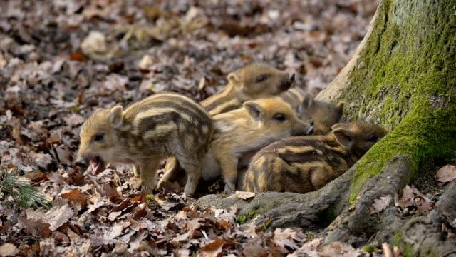 wild boar, sus scrofa, young piglets - tierische nase stock-videos und b-roll-filmmaterial